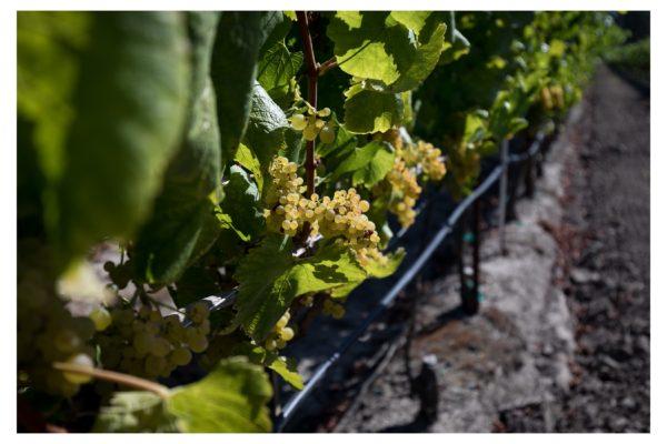Dutton Ranch Chardonnay