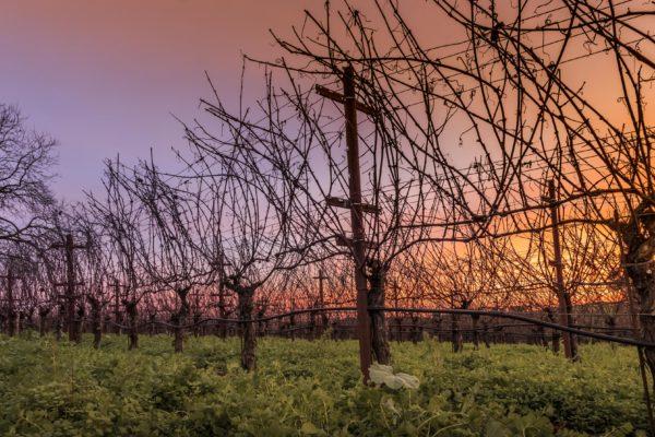 Sebastopol Twilight Vines - Low Res (1 of 1)
