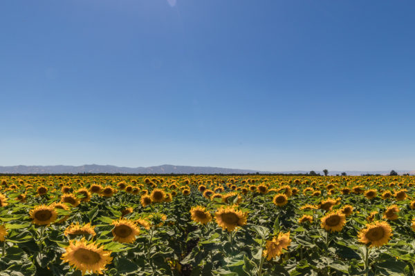 Sunflowers in July (1 of 1)
