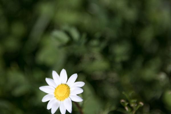 English Daisy - Web Res (1 of 1)