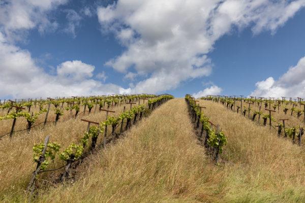 Old Sonoma Road Vineyards - Web Size