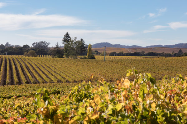 Yellow Carneros (1 of 1)