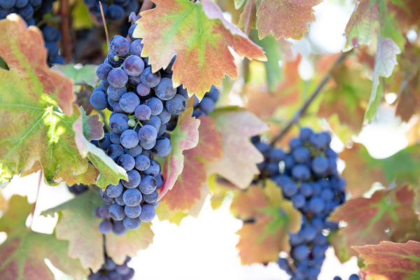 Amador Grapes at Harvest - Web Size (1 of 1)